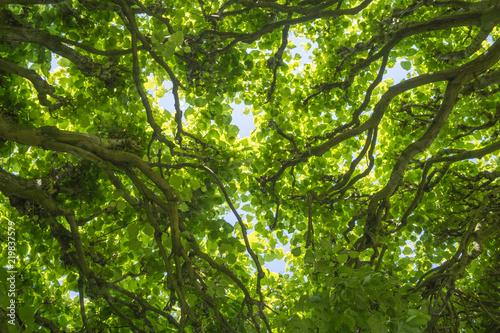 Fototapeta Leaf ceiling