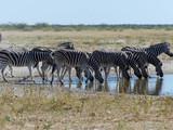 troupeaux de zèbres au point d'eau - Namibie - 219841388