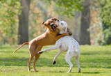 Two dogs, Rhodesian Ridgeback and Dalmatian, playing together