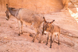 Family of donkeys in town of Petra, Jordan