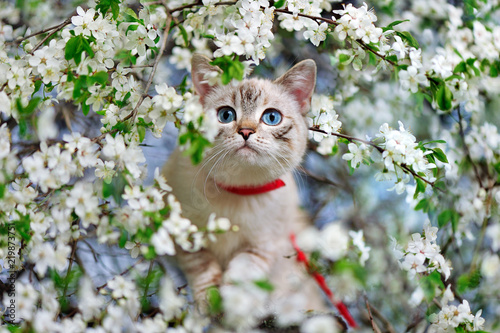 Cat with blue eyes walking along the branch of a blooming cherry tree - 219873751