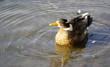 Ente in sommerlicher Idylle mit leichten Wellen im Wasser