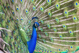 Close up of Peacock with tail feathers spread - 219889318