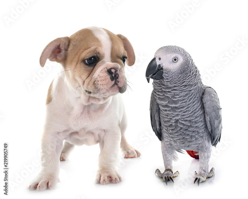 Fototapeta parrot and puppy