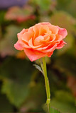 orange colored rose in a garden - 219907529