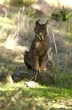Iberian Lynx. Lynx pardinus - 219913788