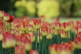 Tulipany w parku