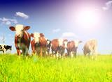 Calves on the field - 219937398