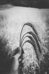 Rye spikes bouquet in a harvester hand on the wheat ears field. Black and white.