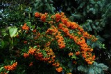 Firethorn Pyracantha coccinea hedge in summer  - 219968129
