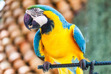 Macaw parrot blue and yellow color.