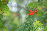 Rowan twig, Sorbus aucuparia with berries in late summer - 219973175