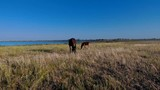 Mare and a little foal graze in a meadow near a lake - 219986754
