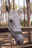 Portrait of a white horse for a walk in the pine forest - 219994779