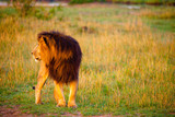 An African lion looking powerful in his pride land in Africa - 220002160