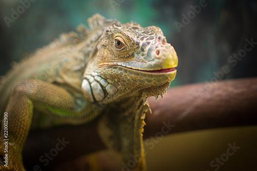 iguana i kameleon są w akwarium