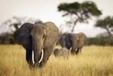 Herd of elephants walking through tall grass