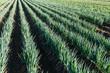 Green onion field