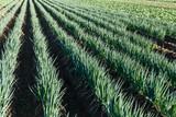 Green onion field - 220045171