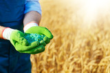 Farmer hold fertilizers in his hands with wheat field at background. Plants care and feeding concept - 220052586
