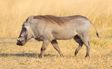 Warthog walking in the evening sun