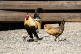 Pair of cock and chicken in the yard - 220069763