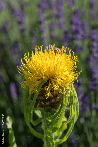 Blooming yellow star thistle flowers on lavender field background blooming yellow star thistle flowers on lavender field background mightylinksfo