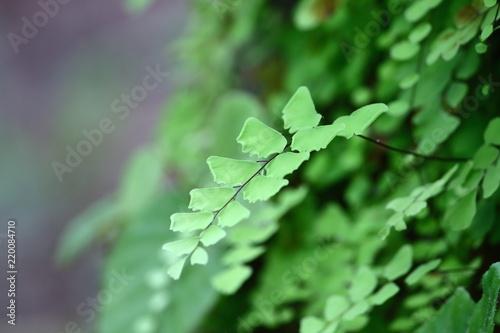maidenhair fern on old wooden in fresh nature