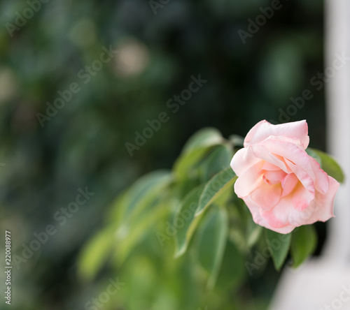 Bulgarian rose, nature concept, evening light