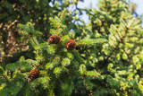Spruce branches with cones, close-up - 220099196