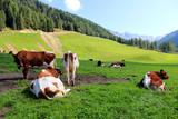 mucche al pascolo in trentino alto Adige - 220109176
