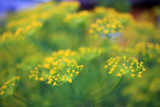 Flowers of dill in the garden - 220111742