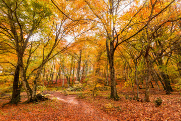 Foliage in Monti Cimini, Lazio, Italy. Autumn colors in a beechwood. Beechs with yellow leaves. © puckillustrations
