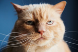 Closeup shot of dissatisfied red cat looking at camera while sitting on blue background - 220117774