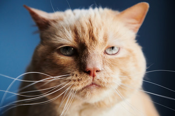 Closeup shot of dissatisfied red cat looking at camera while sitting on blue background © kkolosov