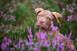 Leinwandbild Motiv portrait of an american pit bull terrier puppy in heather flowers