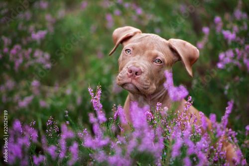 Leinwanddruck Bild portrait of an american pit bull terrier puppy in heather flowers