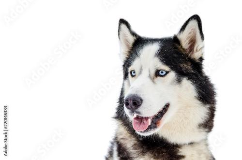 Sled Dog Siberian Husky Breed With Blue Eyes Husky Dog Has Black