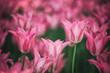 Beautiful purple colored tulip flowers background. Selective focus used.
