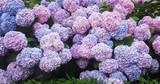 Hortensia in full bloom - 220151932