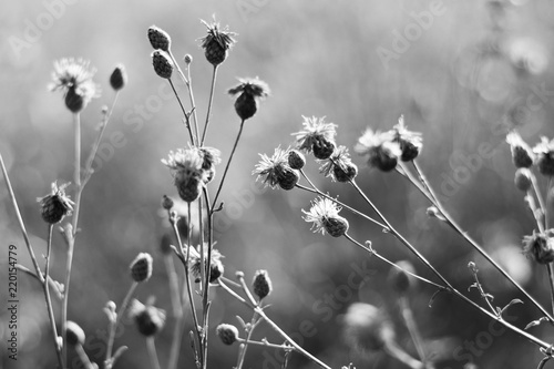 Black and white thistle flowers