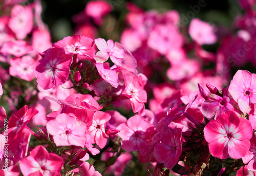 Pink flowers with blurred background.   - 220168709