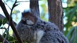 A koala bear sits in a eucalyptus tree in Australia. - 220171325