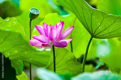 Beautiful Da Helian lotus in Tode Park taipei taiwan - 220178955