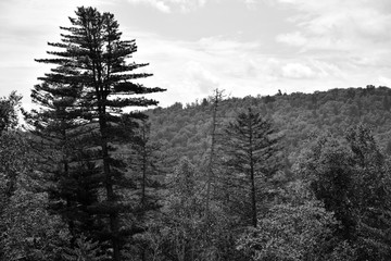 Large cedar rises above the taiga forest. Black-and-white photograph of the mountains of the Sikhote-Alin. Russian far East.