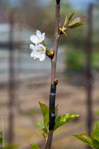Fototapeta Cherry blossom white