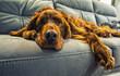 dog sleeps on a sofa