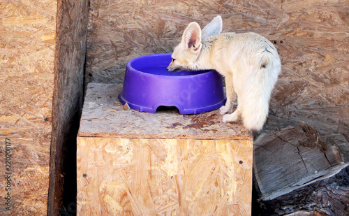 Fototapeta Fennec foxes (Vulpes zerda), Wildlife animal.
