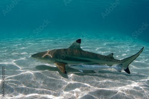 black tip shark underwater polynesia