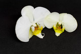 Two white orchid blossoms on black background